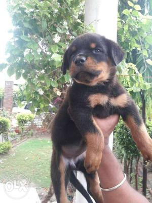 Rottweiler male puppy for sell..no chat only