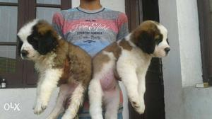 Saint Bernard is ready for new home