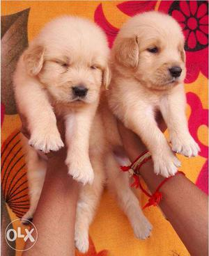 Very good quality golden retriever puppies for sales in