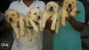 A top quality Labrador puppies top quality for you in Delhi