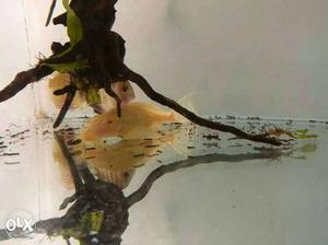 Algae eater Albino red eye pleco 6 inch+ size
