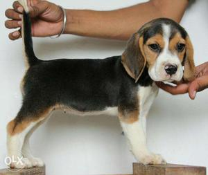Beagle puppies available in maheshtala