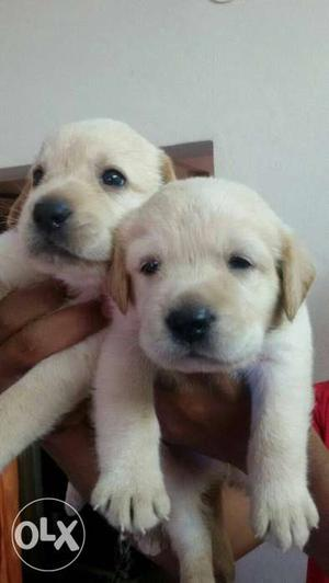 Broadhead short muscle Labrador male and female puppy