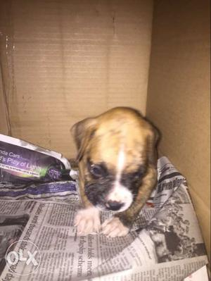 Brown male Boxer Puppy 45 days old urgent sell krna h
