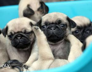 Cute pug puppies available pure breed import
