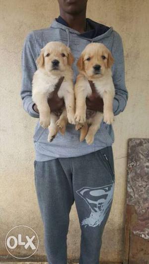 Excellent quality Golden Retriever puppies