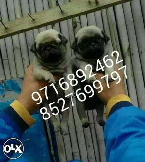Fawn PUG puppies and Black PUG puppies avilable