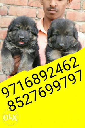 Grab the best German shephrd puppies and all