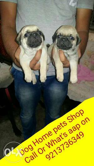 Gud quality Pug puppy for sale