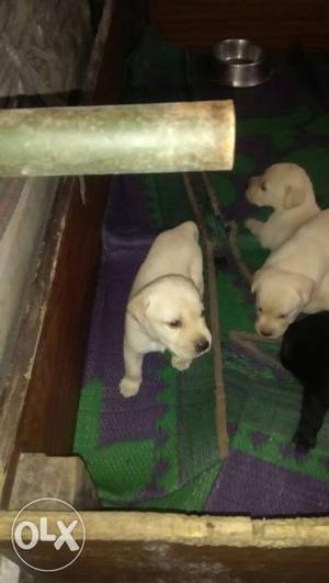 Heavy bone Labrador puppies available for sale