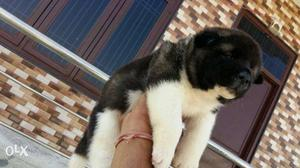 Import lineage Akita pups available for show
