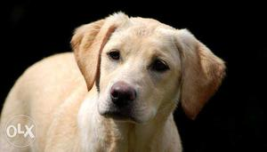 Need a female Labrador for mating contact me for more