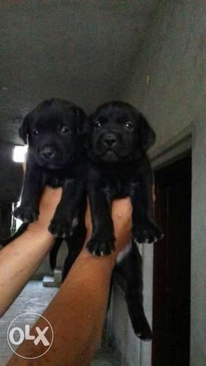 O6 Labrador puppy 35 days old heavy bonn pure breed