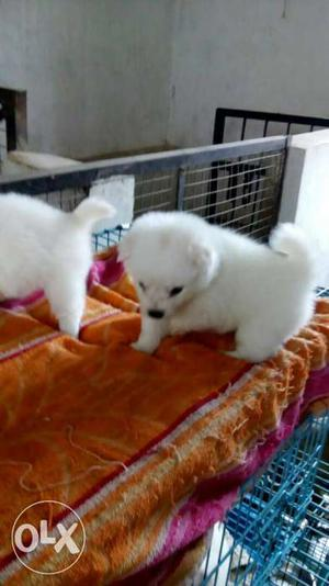 O6 Top quality pom pure white female and male puppy