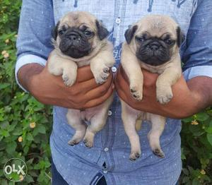 Pug male puppy available for show home home