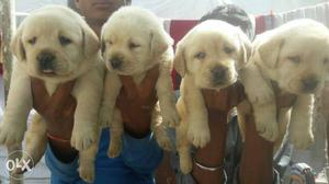 Pure Breed Puppies Available For Loving Homes We