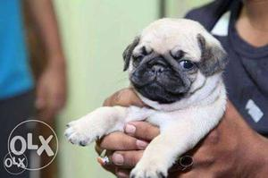 Show Quality Pug puppies for sale contact