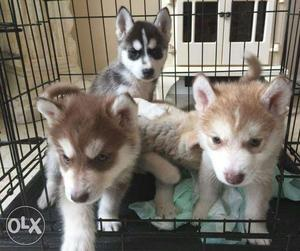 Very good quality puppy avalible here at lowest
