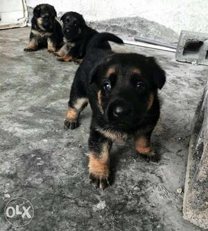 We have all type of healthy dogs i m a breeder.