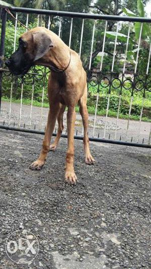 American import and champion lineage female pup 8