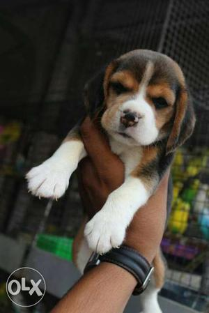 Beagle Heavy quality female puppies available in low price