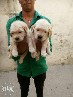 Golden retriever puppies all breed puppies all