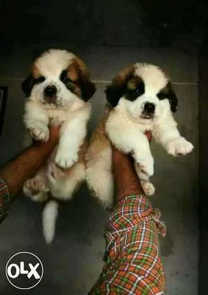 Golden retriever puppies available pure breed dog