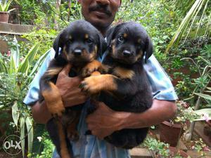 Good quality rottweiler puppies for sales in chennai