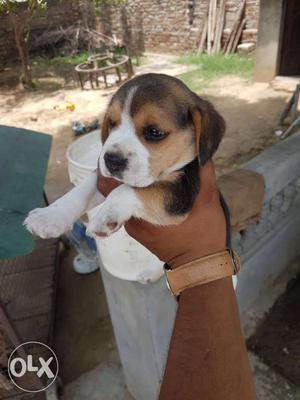 Heavy bone beagle pup available in breeder price