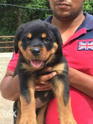 Import show quality rottweiler pups available for