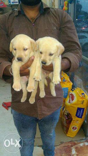 Labrador pups available for sale