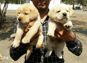 Labrador's puppies available all breed puppies