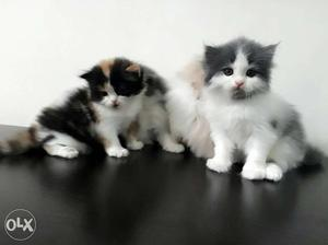 Persian Kitten Available in Pune Price Negotiable