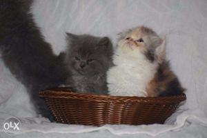 Persian kitten available in surat for pet loving family
