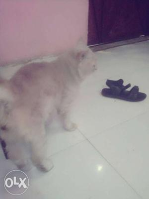 Persian male and female cat available at resnable