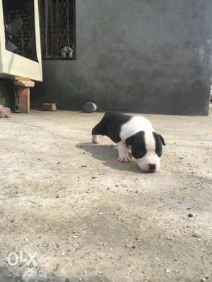 Pitbull american bully pak bully male female pups