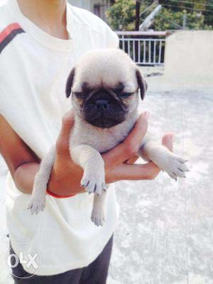 Pug heavy quality Puppies in low price with full checkup