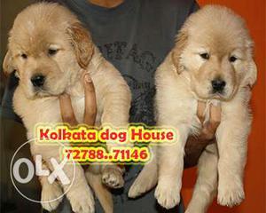 Show Quality Golden Retriever Puppies available ~ KOLKATA