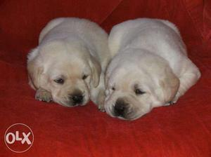 Show quality Labrador puppies for sales in chennai