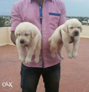 Top show quality Labrador Puppies For sales in chennai