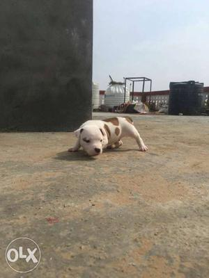 White And Brown American Pit Bull Terrier american bullies
