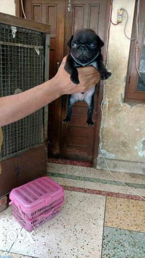 Black Pug Puppy all breed available at Dog Home pet shop