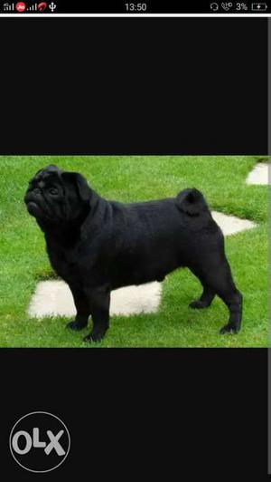Black pug male dog for crossing