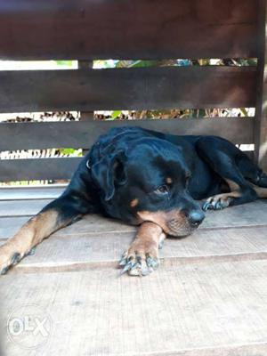 Champion lineage female rottweiler for sale