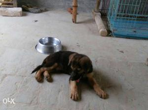 German shepherd puppies available here my number