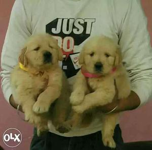 Golden retriever heavy quality breed puppies