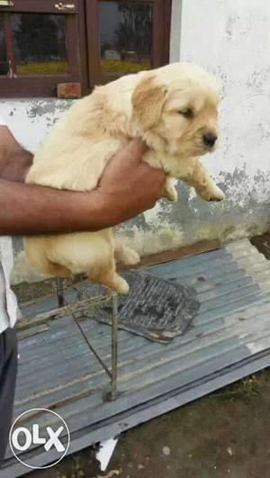 Golden retriever male puppies available all breed