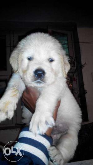 Heavy size show quality golden retriever puppies