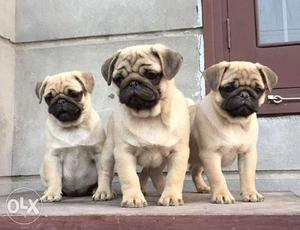 Hi Friend We Have Excellent Quality Pug puppies available,