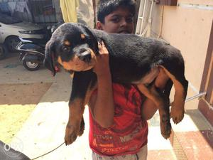Huge size Rottweiler Male puppies available in chennai